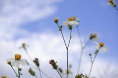 Flor da flor branca da margarida na natureza contra o fundo do céu azul imagem de stock royalty free
