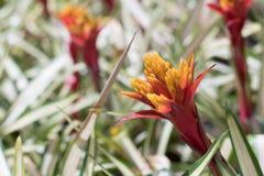 Flor da bromeliácea no jardim imagem de stock