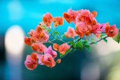 Flor da buganvília Imagem de Stock