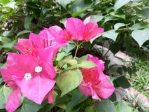 Flor da buganvília Fotografia de Stock Royalty Free