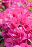 Flor da buganvília Imagens de Stock Royalty Free