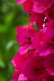 Flor da buganvília Foto de Stock