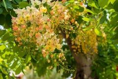 Flor da cássia do Javanese foto de stock royalty free
