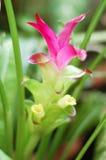 Flor da cúrcuma Foto de Stock Royalty Free