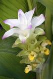 Flor da cúrcuma (longa da curcuma) Imagens de Stock