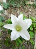 Flor da cabaça da hera foto de stock royalty free