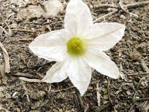 Flor da cabaça da hera fotografia de stock
