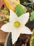 Flor da cabaça da hera fotos de stock royalty free
