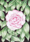 Flor da camélia Foto de Stock Royalty Free