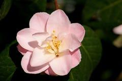 Flor da camélia Imagens de Stock