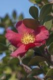 Flor da camélia de Sasangua Foto de Stock Royalty Free