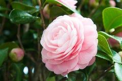 Flor da camélia dobro-florescida imagens de stock