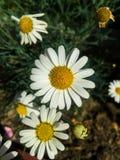 Flor da camomila imagem de stock