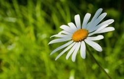 Flor da camomila Foto de Stock