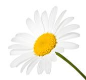Flor da camomila imagens de stock royalty free