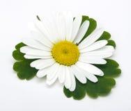 Flor da camomila imagem de stock royalty free