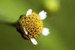 Flor da camomila Fotografia de Stock