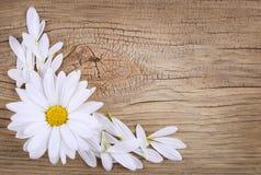 Flor da camomila com as pétalas sobre o fundo de madeira velho. fotografia de stock royalty free