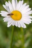 Flor da camomila com uma abelha Fotos de Stock Royalty Free