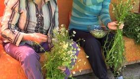 Flor da camomila da erva da picareta no sofá exterior Medicina alternativa vídeos de arquivo
