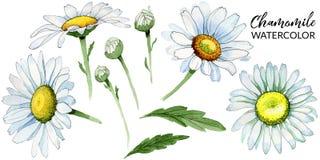 Flor da camomila do Wildflower em um estilo da aquarela isolada Imagem de Stock