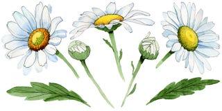 Flor da camomila do Wildflower em um estilo da aquarela isolada ilustração stock