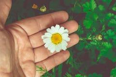 Flor da camomila em uma mão Fotos de Stock Royalty Free