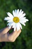 Flor da camomila nas mãos Fotos de Stock