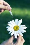 Flor da camomila nas mãos Fotos de Stock Royalty Free