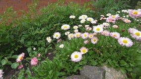 Flor da camomila que balança no vento Uma flor bonita no jardim balança no vento video estoque