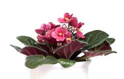 Flor da casa, fotografia de stock royalty free