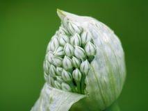 Flor da cebola imagens de stock