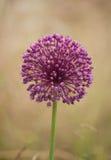 Flor da cebola Foto de Stock Royalty Free