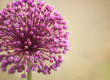 Flor da cebola Imagem de Stock Royalty Free