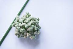 Flor da cebola da mola Foto de Stock Royalty Free