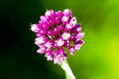 Flor da cebola selvagem Fotos de Stock Royalty Free