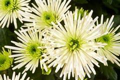 Flor da cerda do crisântemo Foto de Stock Royalty Free