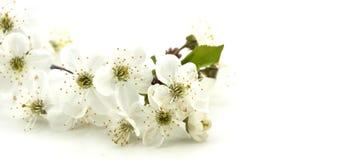 Flor da cereja ácida isolada Fotos de Stock