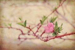 Flor da cereja da mola Foto de Stock Royalty Free