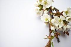 Flor da cereja da mola no fundo branco imagens de stock royalty free