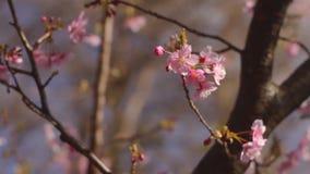 Flor da cereja no parque no Tóquio video estoque