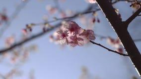 Flor da cereja no parque no Tóquio vídeos de arquivo