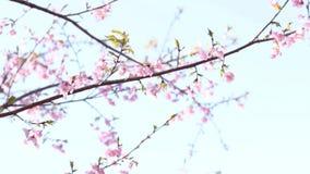 Flor da cereja no parque no T?quio filme