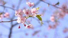 Flor da cereja no parque no T?quio vídeos de arquivo
