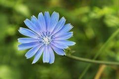 Flor da chicória Fotografia de Stock
