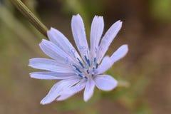 Flor da chicória Imagens de Stock Royalty Free