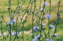 Flor da chicória na natureza Imagens de Stock Royalty Free