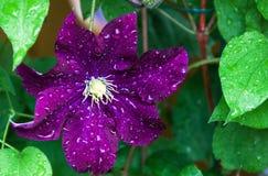 Flor da clematite após a chuva Fotos de Stock Royalty Free
