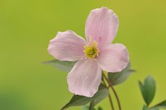 Flor da clematite cor-de-rosa. Macro Foto de Stock Royalty Free