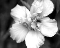 Flor da clematite em preto e branco Fotos de Stock Royalty Free